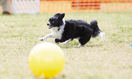 走るワンちゃんとボール