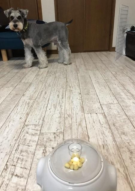 犬用おもちゃプッシュ&ポップを見つめる愛犬