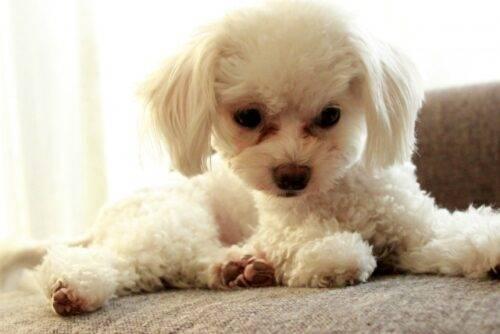 涙やけで目元が茶色い犬